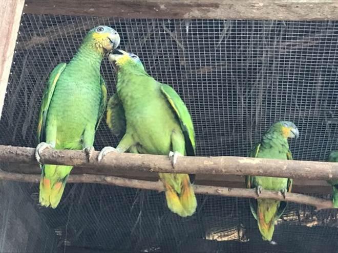Papagaios são repatriados para o estado após apreensão em São Paulo
