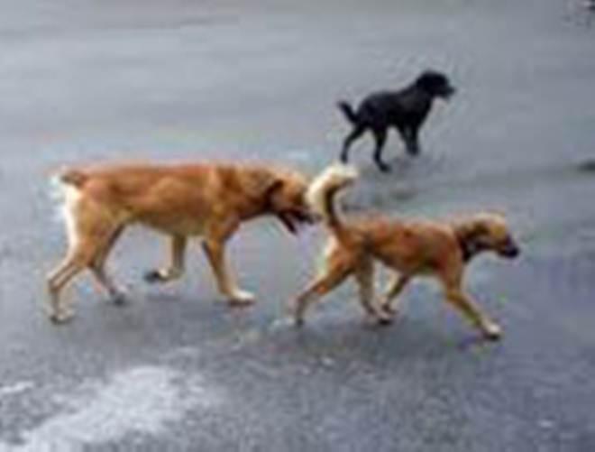 Cabo Verde: Câmara do Tarrafal vai identificar e registar cães para eliminá-los da cidade