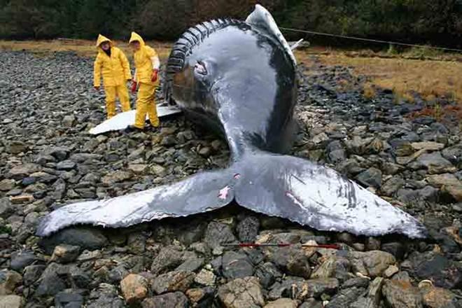 Tempestades solares podem causar morte em massa de baleias