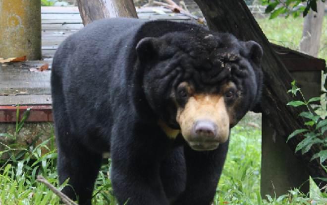 Urso-malaio que viveu em uma jaula durante dez anos encontra outros ursos pela primeira vez!
