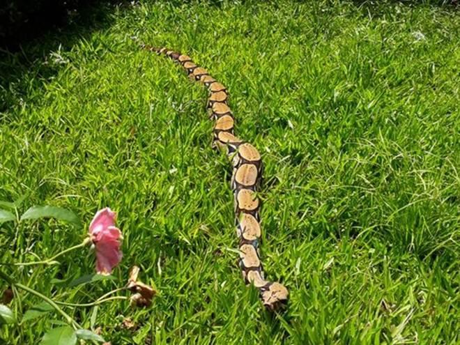 Jiboia de quase dois metros é achada em jardim de empresa em Rio Branco, AC