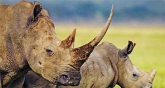 Cadáveres de rinocerontes são encontrados em parque na África do Sul