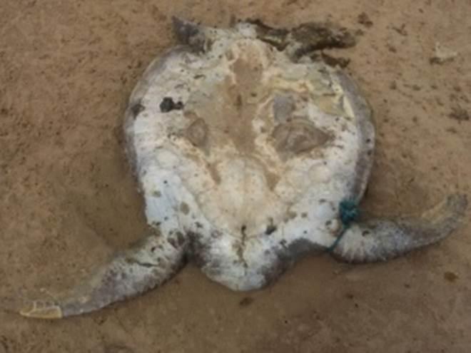 Pescadores capturam tubarão e encontram tartarugas marinhas mortas em Piaçabuçu, AL