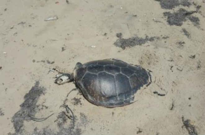 Moradores do Pontal do Peba (AL) denunciam morte de tartarugas