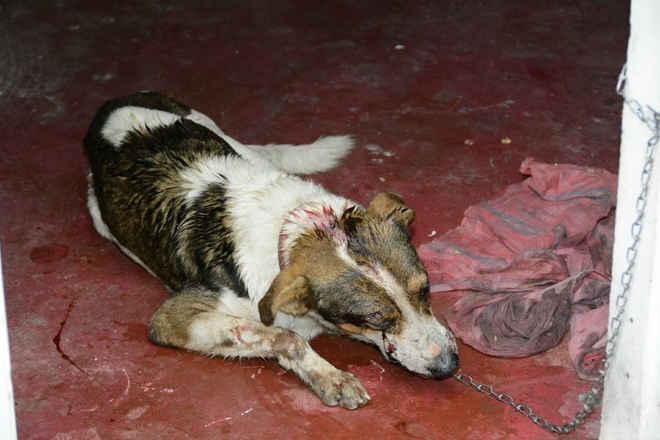 Cachorro é espancado a pauladas e tutores pedem ajuda para salvar o animal