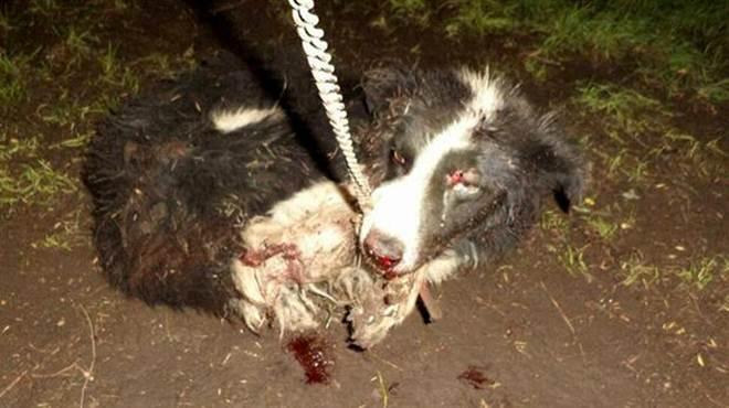 Um homem atacou três cães acorrentados com um machado na Argentina: um morreu