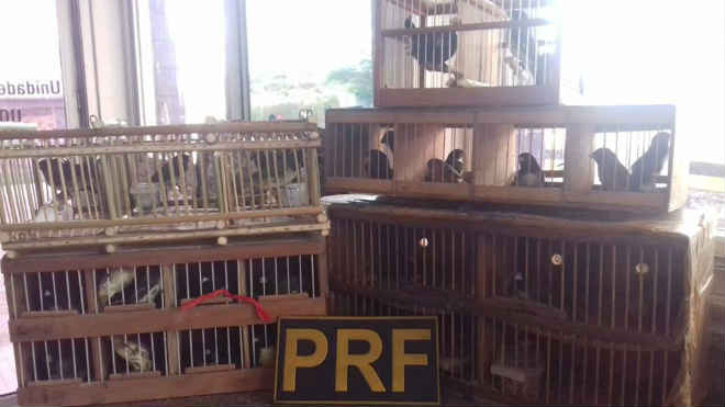 PRF flagra homem transportando 32 pássaros silvestres para São Paulo