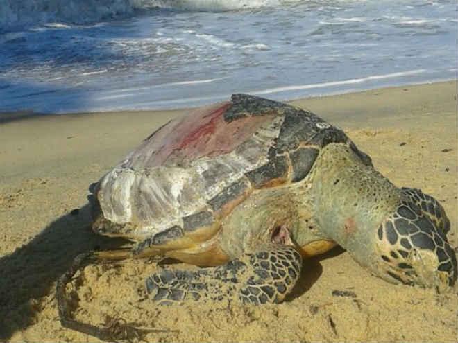 Tartaruga marinha é achada morta em praia de Prado, extremo sul da Bahia