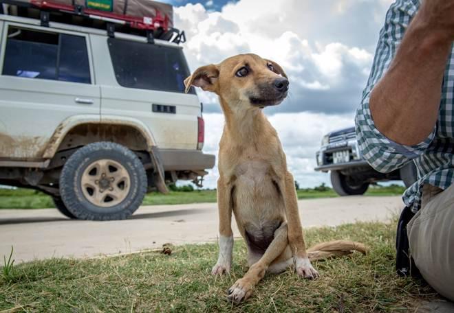 Cadela paralisada das patas traseiras se arrasta por vários km para encontrar ajuda