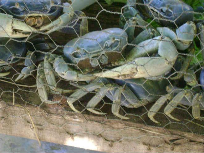 Venda de guaiamuns é proibida em todo Brasil