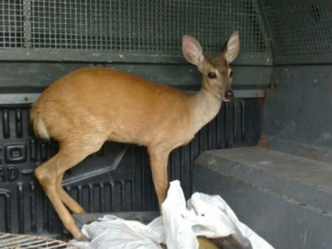Polícia ambiental resgata 96 animais silvestres presos no interior do Ceará