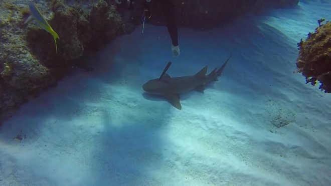 Tubarão com faca enfiada na cabeça 'pede ajuda' a mergulhador