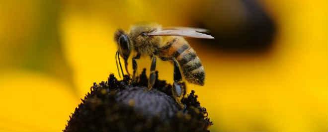A Comissão Europeia pretende proibir inseticidas agrícolas para salvar as abelhas