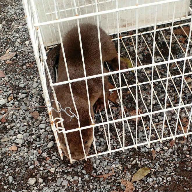 Lontra é resgatada por policiais em casa do Lago Sul, no DF