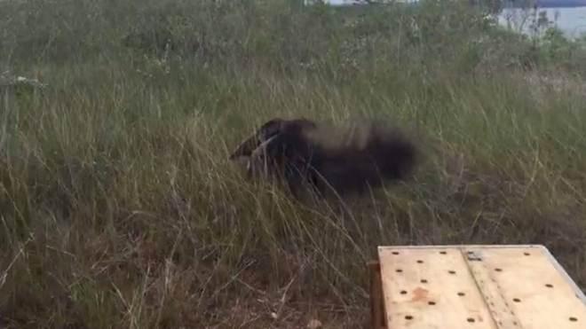 Tamanduá é resgatado após ser flagrado 'passeando' em rua de Brasília; vídeo