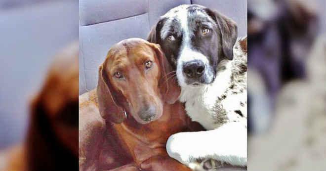 Tutora adotaria 1 cão, mas levou 2 após notar amizade entre os animais