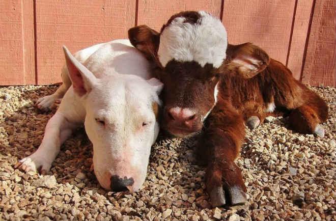 Vaca resgatada de casa de leilões ama todos os cães que conhece