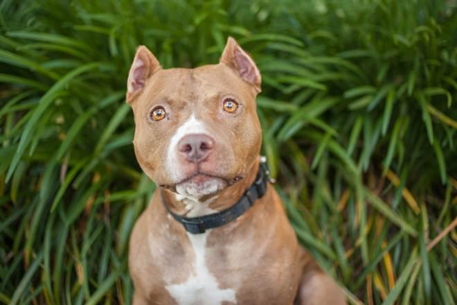 Cães usados em rinhas precisam da sua ajuda! Assine a petição para fortalecer as leis de proteção aos animais em Indiana, EUA