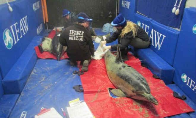 Dez golfinhos encalhados são resgatados em praias dos EUA