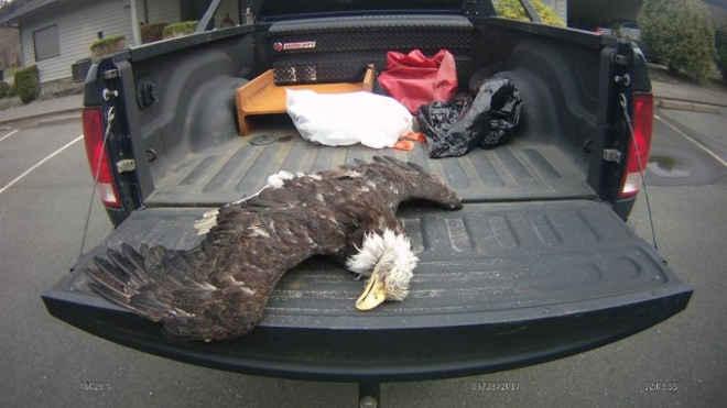 Polícia busca suspeitos de matar e cortar garras de águia protegida por lei, nos EUA