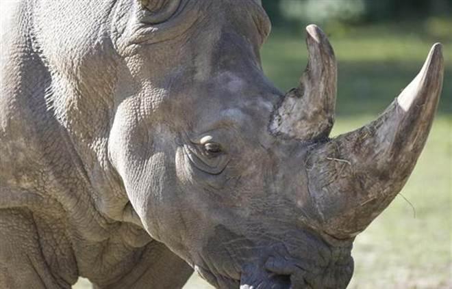 Rinoceronte morto a tiro em jardim zoológico francês