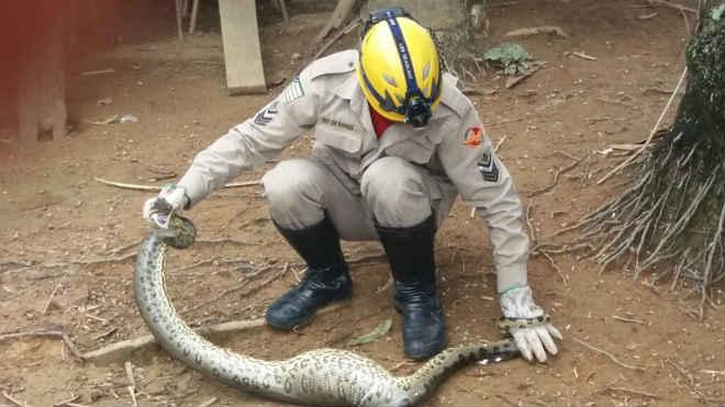 Corpo de Bombeiros captura sucuri de dois metros em Morrinhos, GO