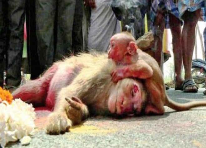 Bebê macaco chora sobre corpo da mãe morta e sensibiliza internautas