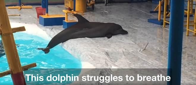 Filmagem mostra golfinhos encalhando-se por longos períodos de tempo e outras atrocidades em circo itinerante indonésio