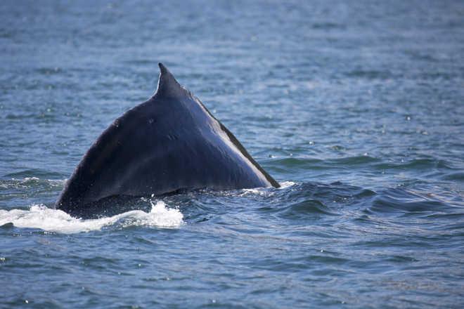 Caçador islandês cancela caça à baleia-fin