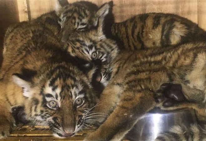 Três tigres bebés resgatados no aeroporto de Beirute, no Líbano