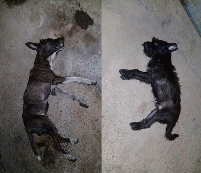 Dois cachorros morreram e um ficou com sequelas após serem envenenados em Alfenas, MG