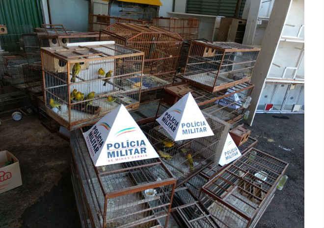 Mais de 100 pássaros usados em rinha são apreendidos em Uberlândia, MG