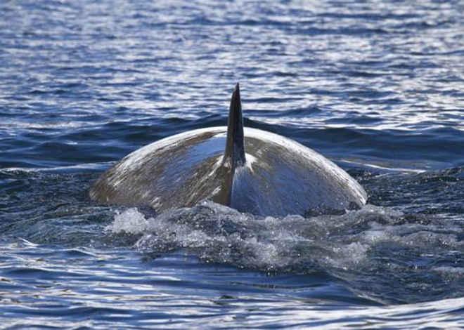 Governo norueguês aumenta a quota de caça à baleia Minke apesar da demanda pela carne cair