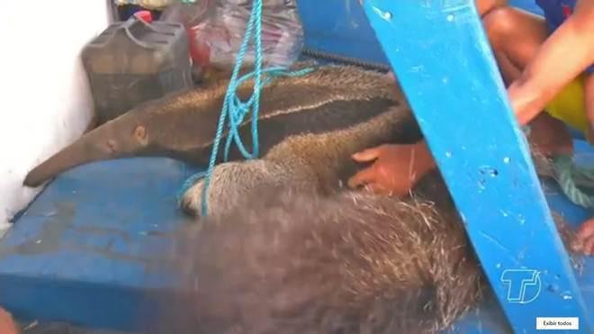 Tamanduá é resgatado por passageiros de barco no Rio Tapajós, em Santarém, PA