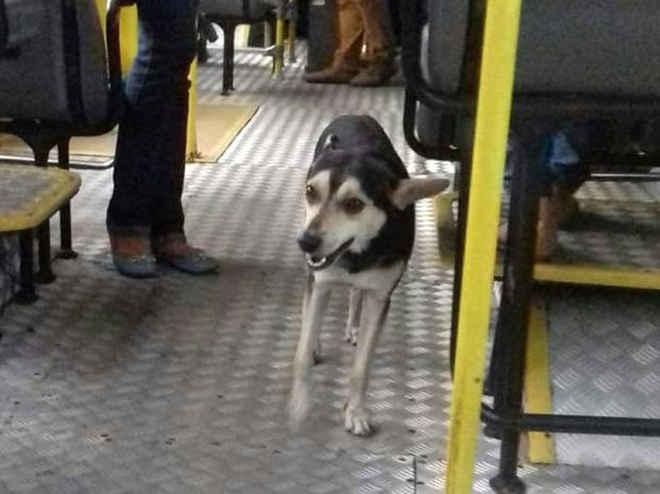 Cão pega ônibus, desaparece, e voluntários fazem buscas para encontrá-lo no PA
