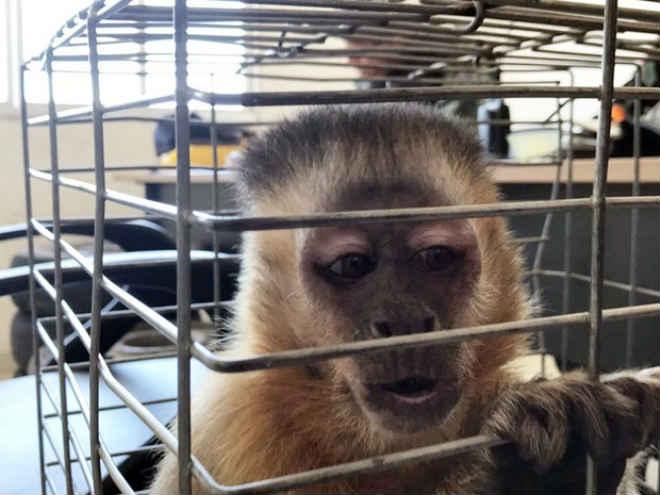 Macaco é resgatado após passar 20 anos vivendo com casal na Paraíba