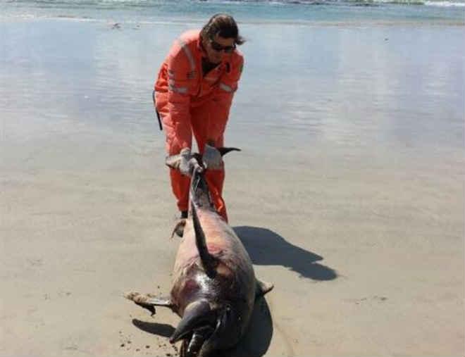 Mais um golfinho é encontrado morto na Praia de Boa Viagem em Recife, PE