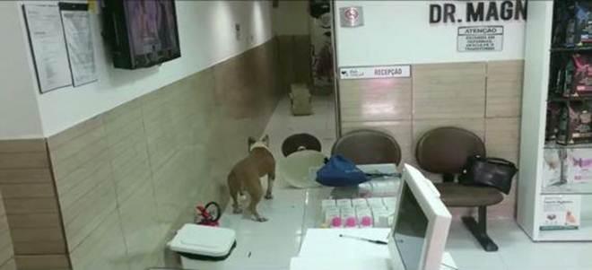 Pit bull foge de terreno e invade clínica veterinária em Casa Amarela, Recife, PE