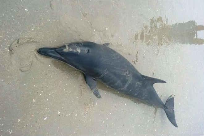 Ferido, golfinho encalha e morre na Praia do Arrombado (PI); bióloga orienta