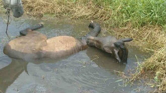 Cavalo com patas quebradas é jogado em poça para se afogar