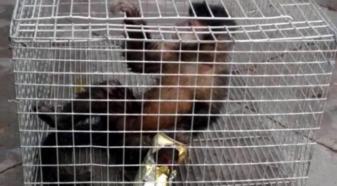Macaca com latinha presa na pata é capturada e já passa por cuidados veterinários em Umuarama, PR