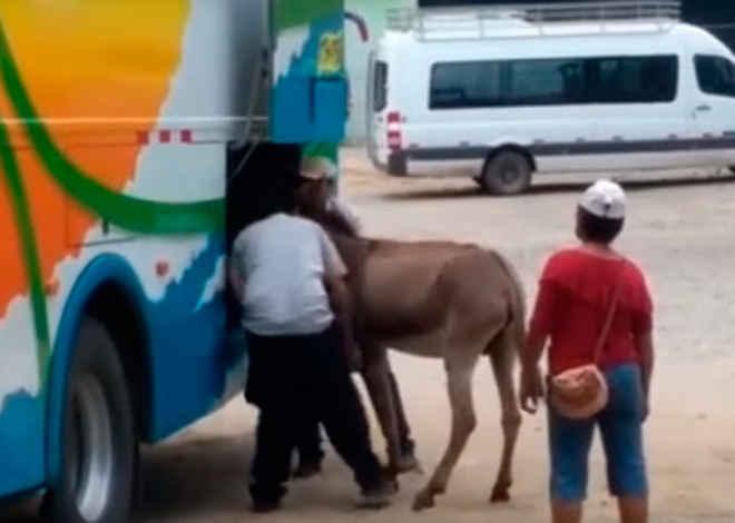 Um burro é colocado à força dentro do bagageiro de um ônibus interestadual no Peru