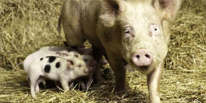 Porquinhos são resgatados do matadouro. E vídeo emocionante mostra sua felicidade ao se verem livres pela primeira vez