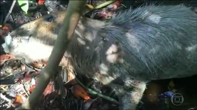 Capivaras são encontradas mortas na Barra da Tijuca, RJ
