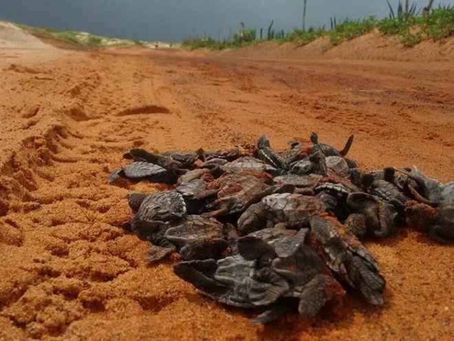 Filhotes de tartarugas são atropelados a caminho do mar em praia do RN