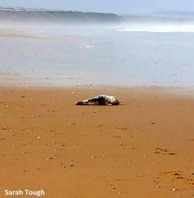 Mulher flagra oito vândalos agredindo um filhote de foca na praia. Então ela resolve intervir para ajudá-la