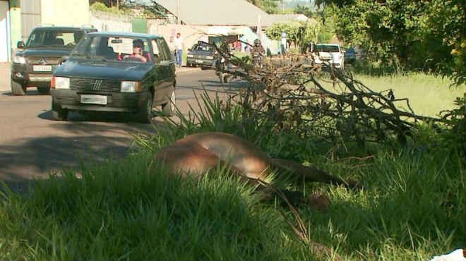 Cavalo solto em avenida movimentada morre em acidente em Ribeirão Preto, SP