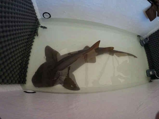 Tubarão-lixa que era mantido em aquário de casa em Ribeirão Preto (SP) é resgatado