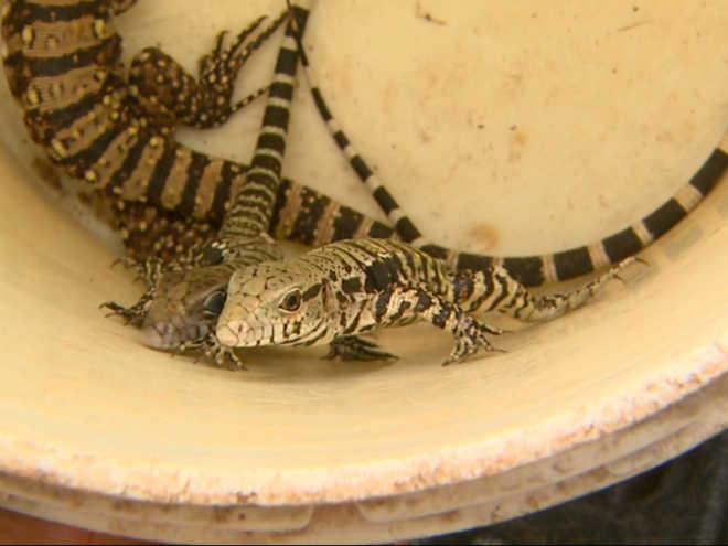 Polícia recebe denúncia e acha cobras e lagartos em loja de Sertãozinho, SP
