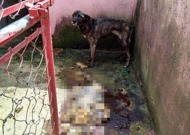Cenas chocantes: cães morrem de fome em canil de Ibiúna, SP